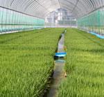 プール育農法で元気な苗づくり