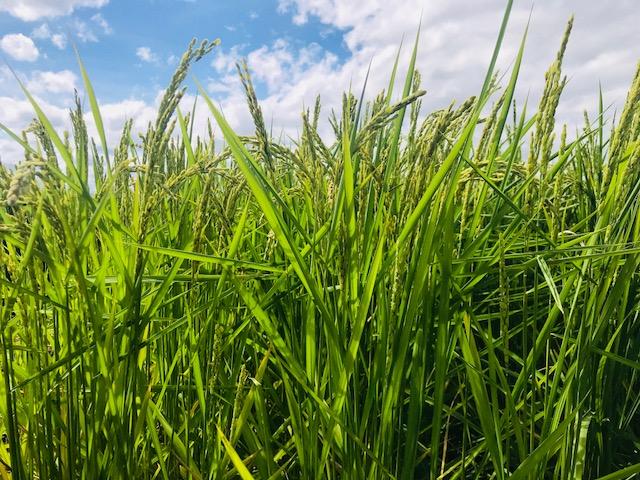 無農薬・無化学肥料栽培いのちの壱の田んぼ