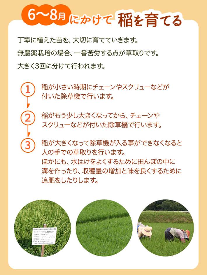 6~8月にかけて稲を育てる
